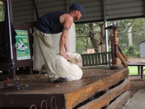Not Shaun the Sheep but 'Shorn' the Sheep