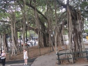 Weeping fig trees everywhere
