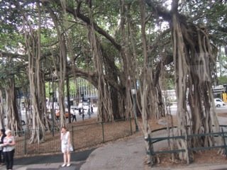 Weeping fig trees everywhere